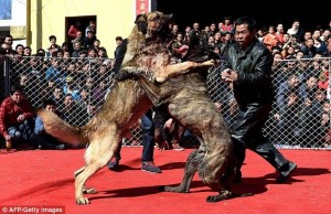 Pertarungan Anjing Di China Dianggap Sebagai Hiburan