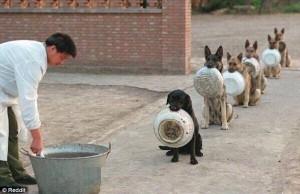 Lucu, Anjing Polisi Berbaris Antri Makan