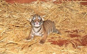 Menggemaskan, Bayi Harimau Mungil Lahir Di Australia