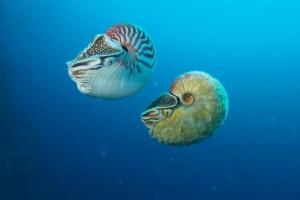 Makhluk Laut Langka Nautilus Terlihat Di Papua Nugini