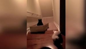 Lucu, Kucing Ini Meluncur Di Tangga Menggunakan Kardus
