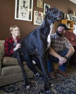 Wow, Tinggi Anjing Ini Mencapai 3 Meter