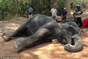 Tragis, Gajah Mati Kelelahan Saat Antar Wisatawan Di Kuil Kamboja