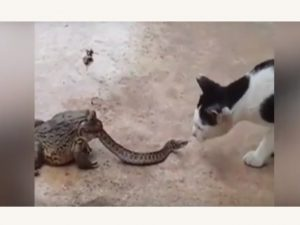 Berkelahi Dengan Kucing, Ular Tidak Sadar Ditelan Katak Hidup-Hidup