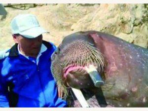 Selfie Bersama Walrus, Pria Ini Tewas