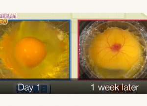 Siswa SMA Tumbuhkan Anak Ayam Dari Telur Tanpa Cangkang