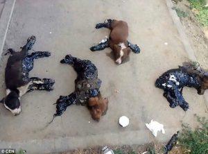 4 Anak Anjing Ditemukan Tertutup Aspal Panas