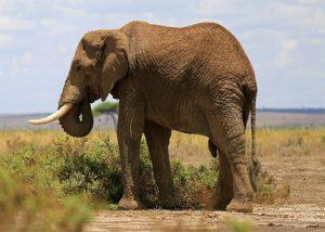 Pemburu Profesional Tewas Tertindih Gajah Yang Tertembak