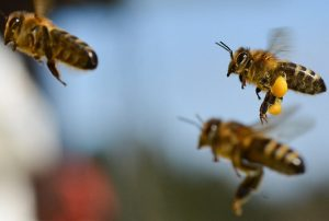 Serangan Lebah Raksasa Di California, 6 Orang Luka-luka