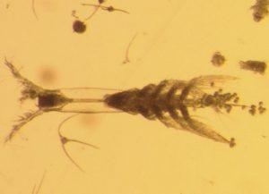 Monster Plankton Ditemukan Di Laut Arktik