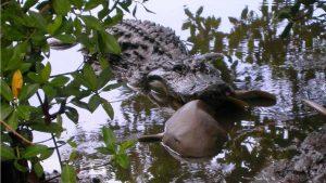 Penelitian Ungkap Fakta Jika Aligator Sering Memakan Hiu