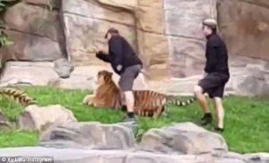Penanganan Harimau Di Australia Tuai Kecaman