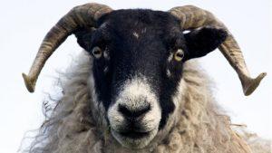 Penelitian, Domba Bisa Mengidentifikasi Wajah Manusia