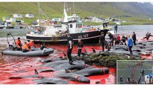 Mengerikan Tradisi Berburu Paus Dan Lumba-lumba Di Kepulauan Faroe