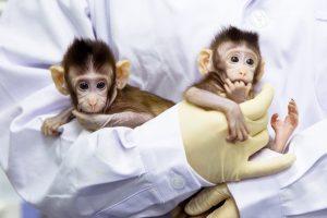 China Berhasil Ciptakan Dua Ekor Monyet Kloning