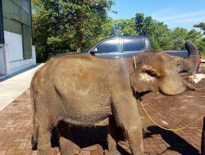 Kondisi Erin, Gajah Kecil Dengan Belalai Buntung Semakin Membaik