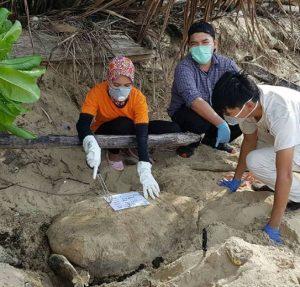 Mengkhawatirkan, 20 Puluh Ekor Penyu Ditemukan Mati Di Kalimantan Barat