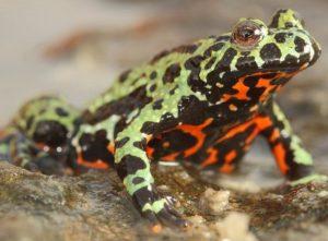 Ilmuwan Ungkap Asal Usul Jamur Yang Menghancurkan Populasi Amfibi