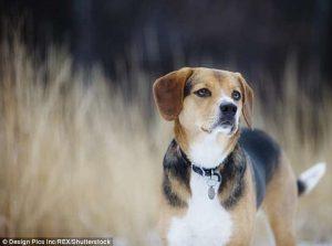 Ilmuwan Memulai Eksperimen Membalikkan Penuaan Pada Anjing
