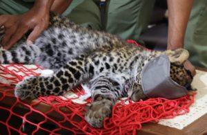 Terjebak, Anak Macan Tutul Di Sukabumi Dilepas Kembali