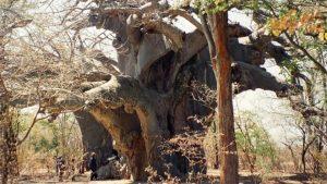 Pohon Kuno Mati Misterius Membuat Para Ilmuwan Terkejut