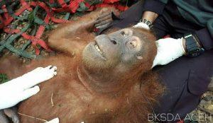 Karena Tembakan, Orangutan Sumatera Alami Kebutaan