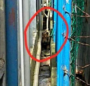 Harimau Liar Terjebak Di Pasar Riau