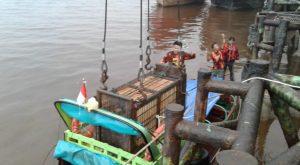 Tiga Hari Terjebak, Harimau Sumatera Akhirnya Berhasil Dievakuasi