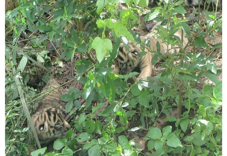 Populasi Harimau Sumatera Bertambah, Berapa Jumlahnya?