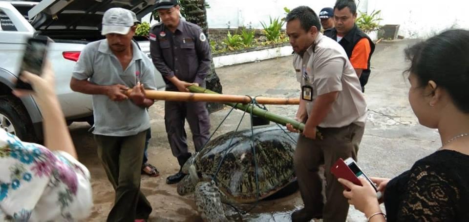 Dampak Tsunami Selat Sunda, Belasan Penyu Sisik Terdampar