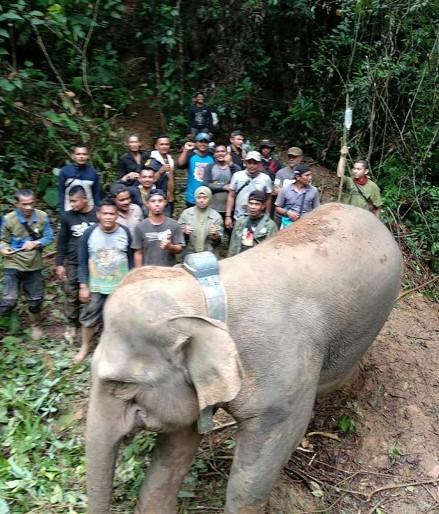 Terisolasi 5 Tahun, Gajah Liar Aceh Berhasil Ditranslokasi
