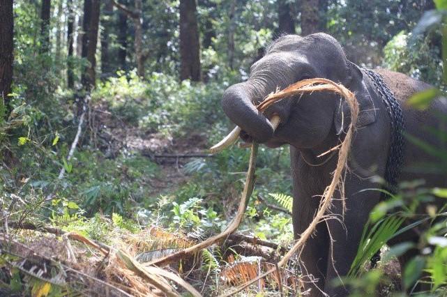 Kawasan Hutan Khusus Aek Nauli, Dibangun Untuk Pelestarian Gajah
