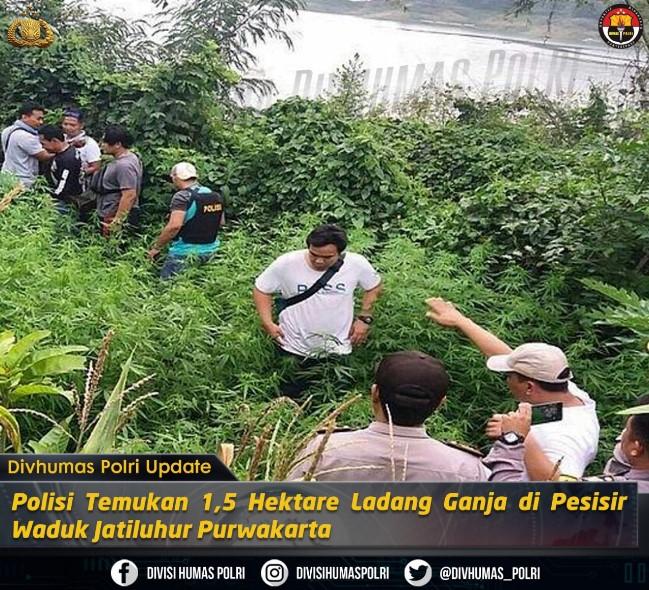 Polisi Temukan Ladang Ganja Seluas 1,5 Hektare Di Purwakarta, Jawa Barat