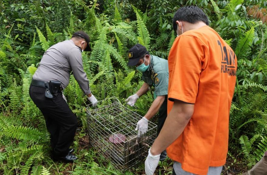 BKSDA Kalimantan Barat Melepasliarkan 2 Ekor Trenggiling