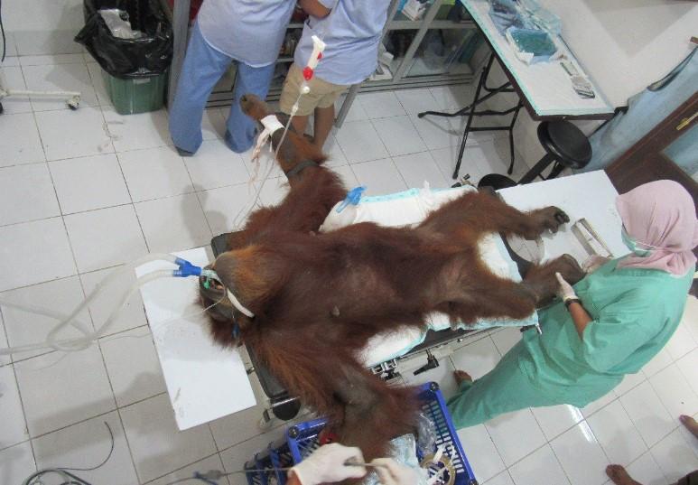 Kritis, Orangutan Sumatera Ditembak 74 Peluru Di Aceh