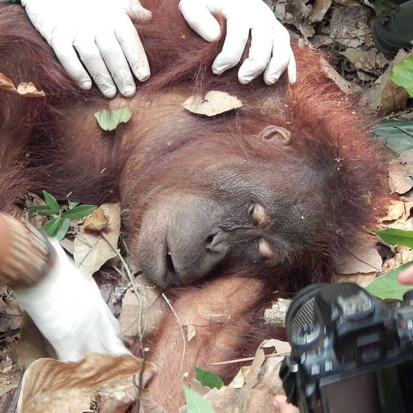Kisah Sedih Orangutan Yang Terkepung Api Di Ketapang